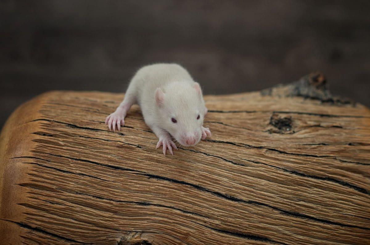 Ratten C-Wurf Tag 16 Chrissy