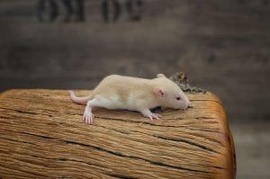 Ratten C-Wurf Tag 16 Cinderella