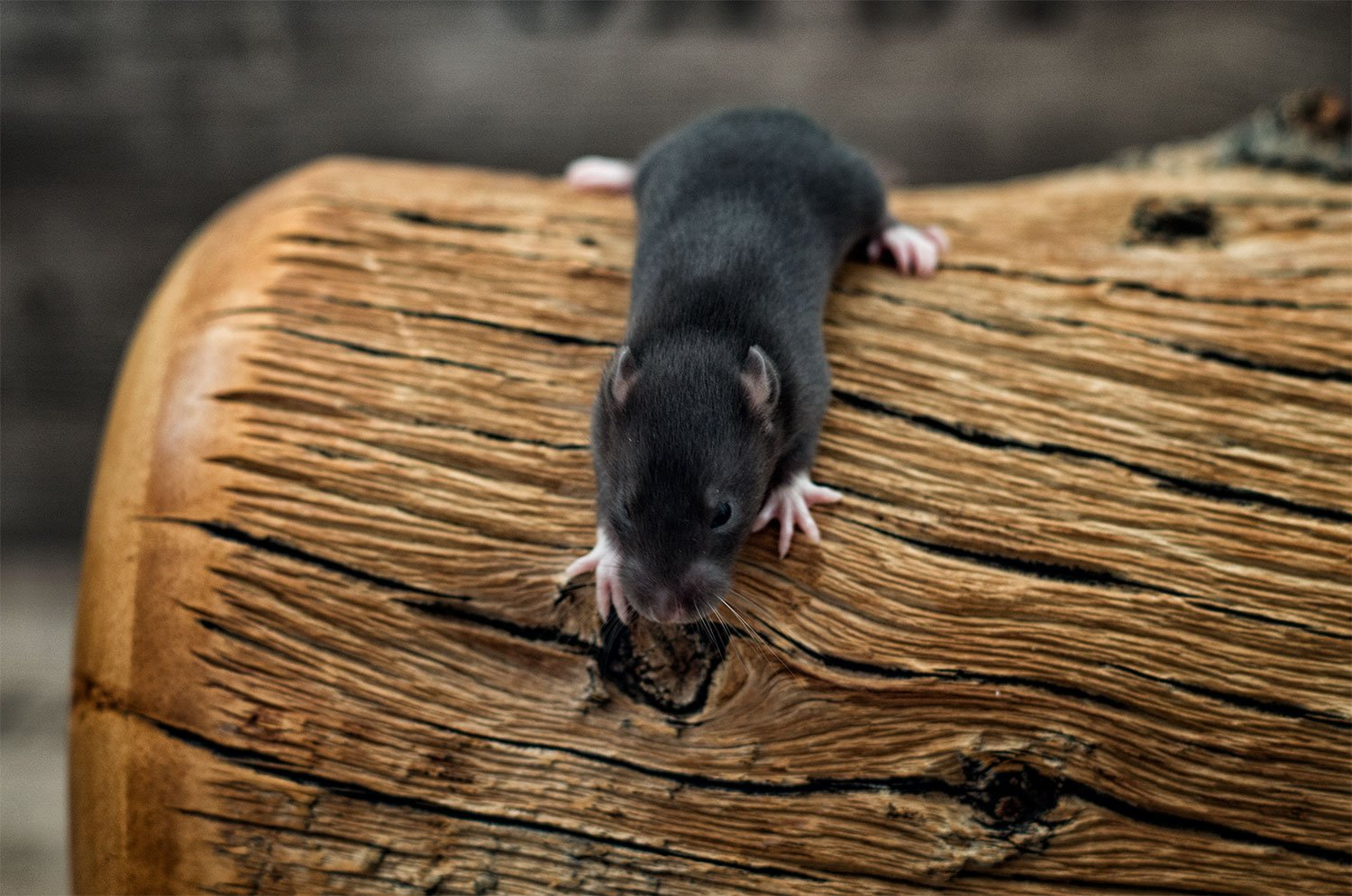 Ratten C-Wurf Tag 16 Collin