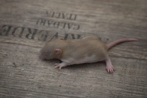 Ratten D-Wurf 23.07.2017 Dante