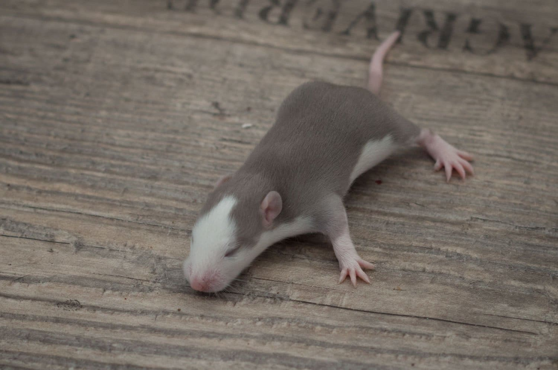 Ratten D-Wurf 23.07.2017 Dorian