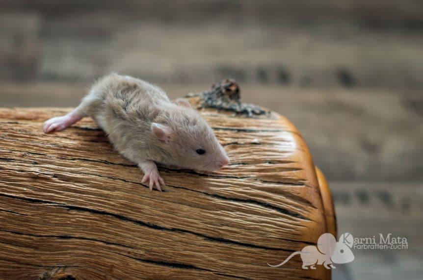 Ratten D-Wurf Dante 29.97.17