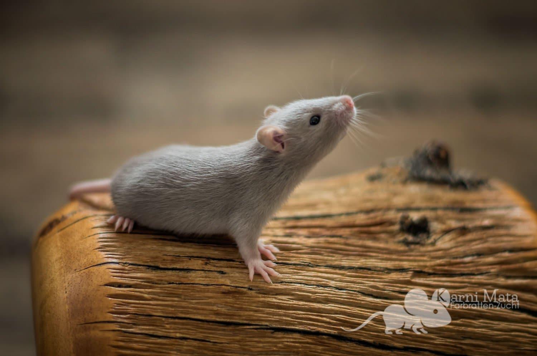 Ratten D-Wurf Desdemona 29.97.17