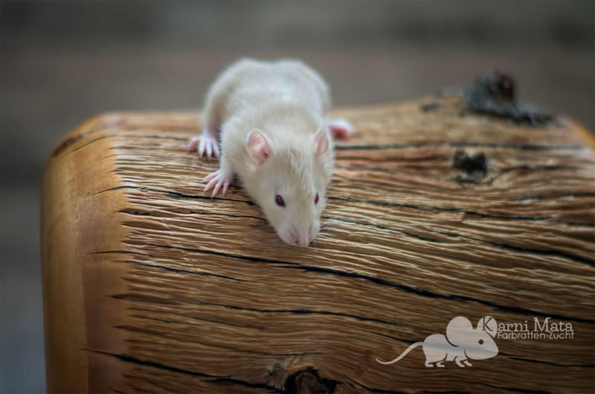 Ratten D-Wurf Destiny 29.97.17