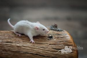 Ratten D-Wurf Diva 29.97.17