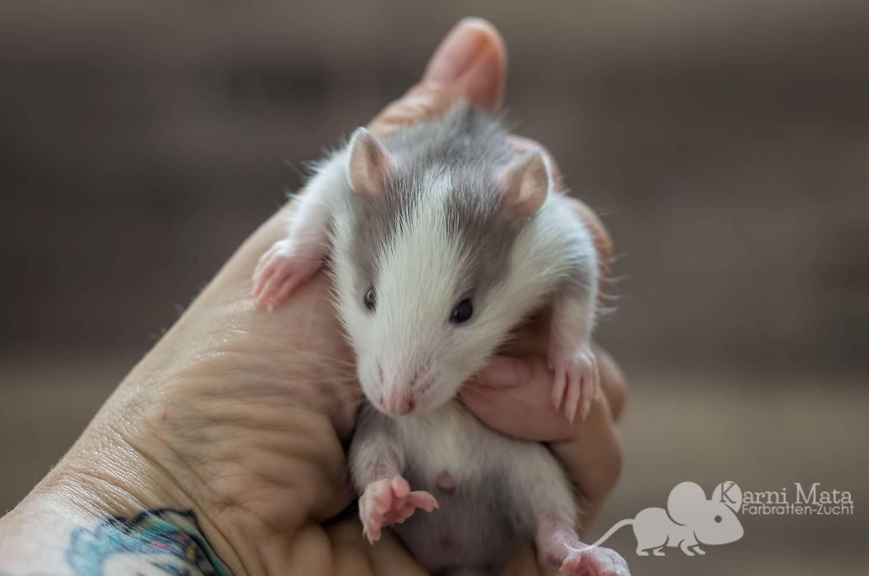 Ratten D-Wurf Dorian 29.97.17