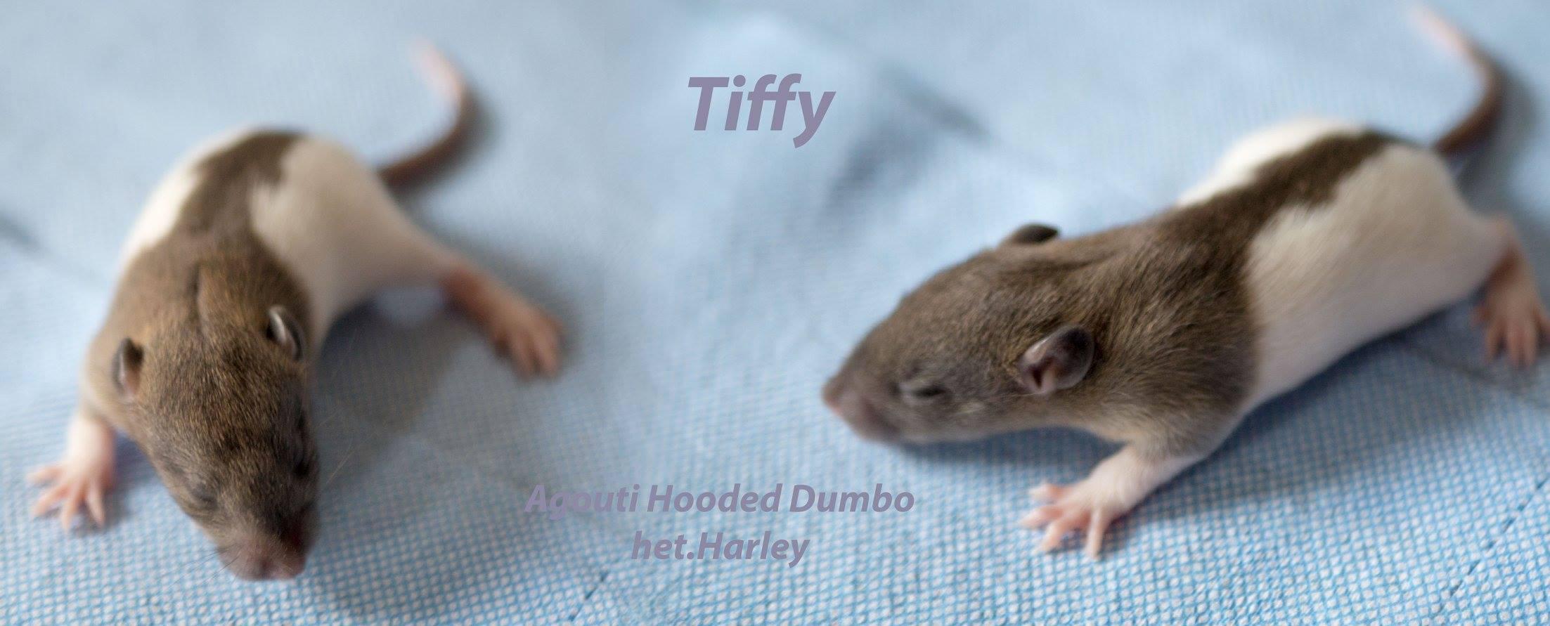Ratten Wurf Pina & Jim Tiffy 24.7.2017