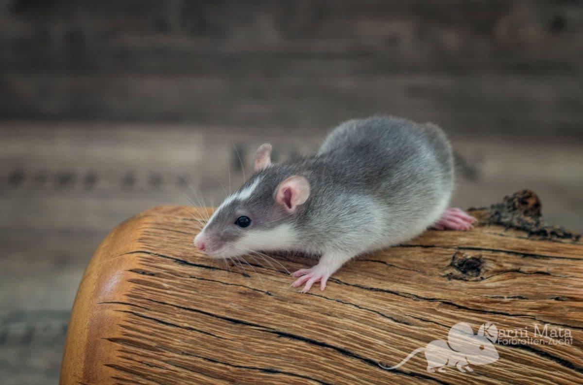 Ratte Oskar, Agouti Husky (?)