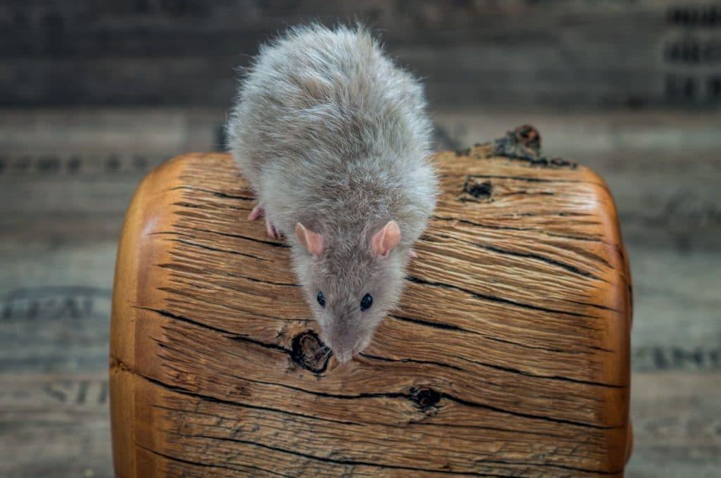 Ratte Leilani, Blue Point Burmese
