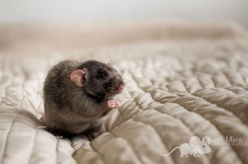 Ratte Lola, Black Silvermane/D'argent