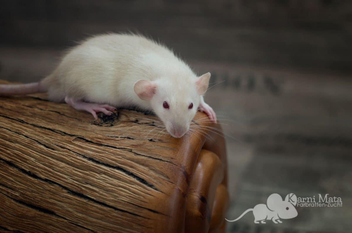 Ratte Ratte Simps, Siamese Dumbo het. Harley
