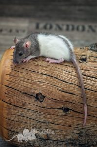 Ratte Tiffy, Agouti Hooded