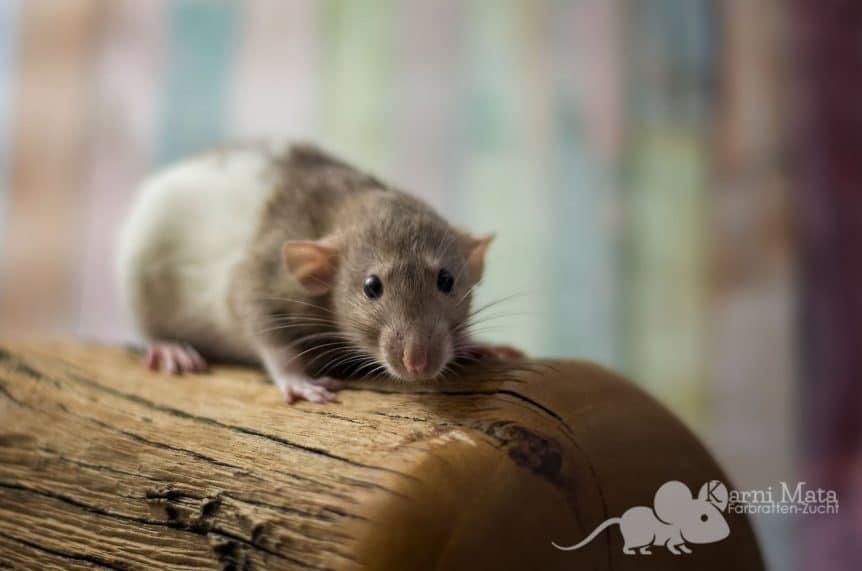 Ratte Abby, Cinnamon variegated Dumbo Harley-Trägerin