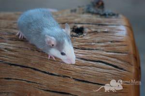 Ratte Aslaug, Russian Blue Husky