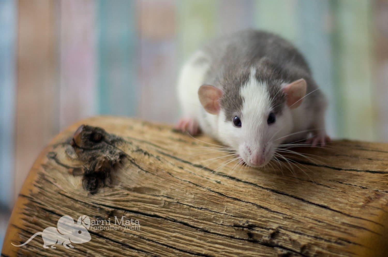 Dumbo Ratte