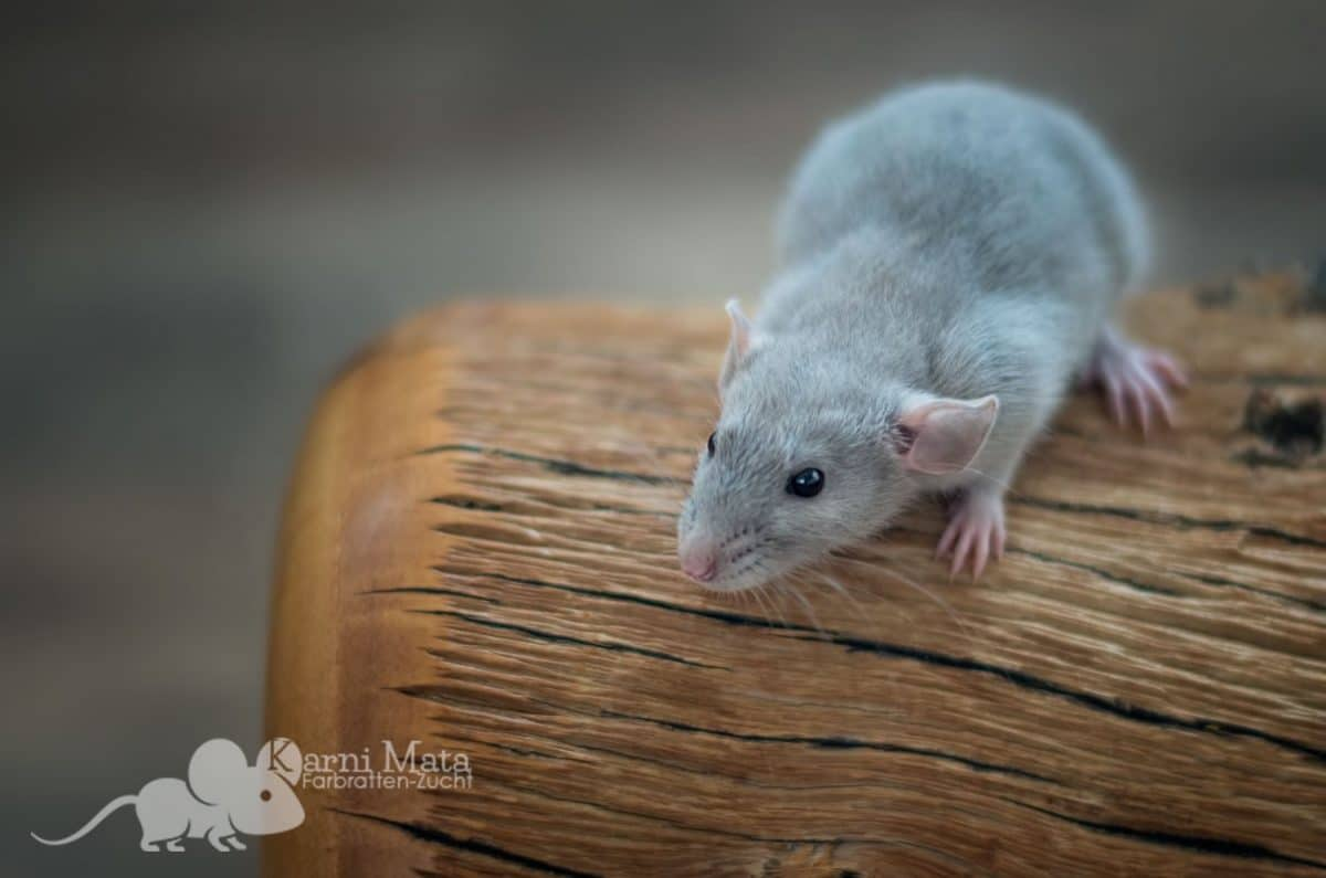 Russian Burmese Self Ratten Junge Frodo