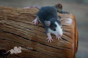 Ratte Harbard, Black Husky