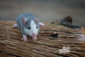 Ratte Helga,, Russian Blue Husky