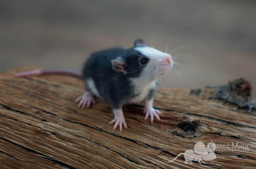 Ratte Lagertha, Black Husky