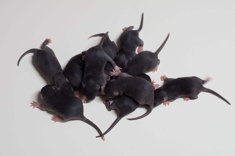 Rattenbabies E-Wurf