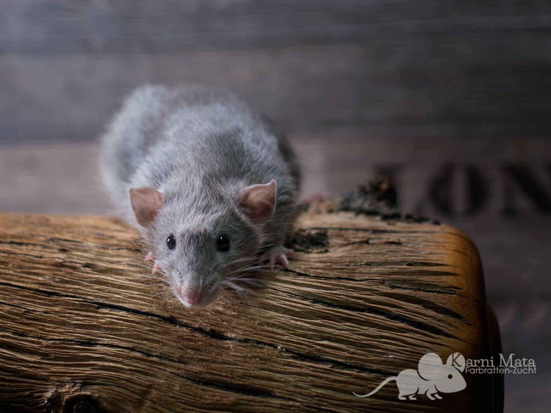 Ratte Frodo, Russian blue Burmese Self