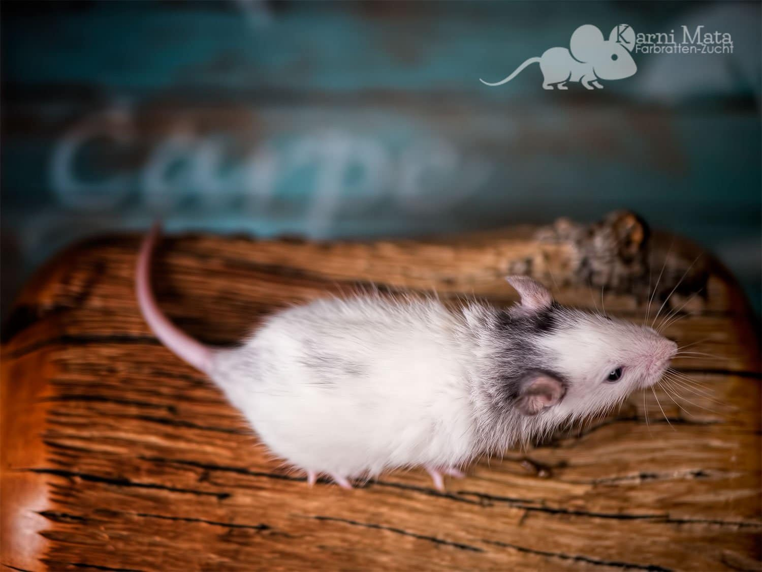 Ratte Hanibal, Black Patched opossum Variegated Mismarked het. Harley