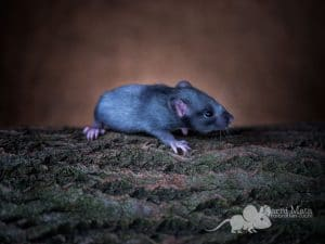 Ratte Ganan (m.), Black Silvermane/D'argente Irish het. Dumbo pos. het. Harley