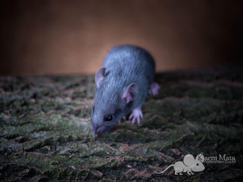 Ratte Gautama(m.), Black Silvermane/D'argente Irish het. Dumbo pos. het. Harley