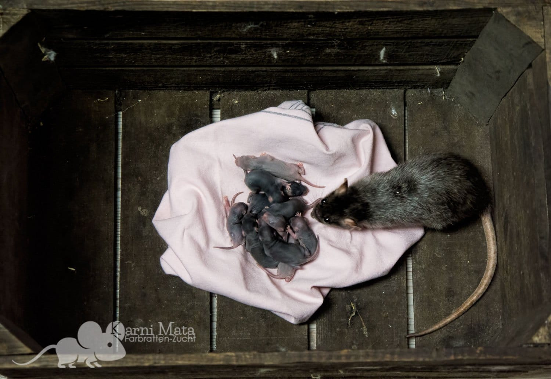 Rattenbabies G-Wurf mit Mama Lola, Black, Silvermane, evtl. Mink, teilweise Harleys