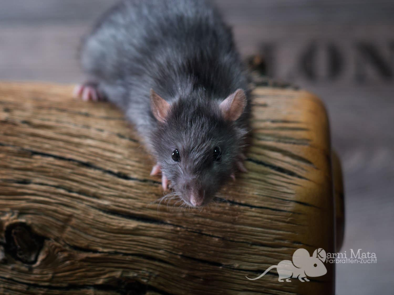 Ratte Salto, Black Berkshire harley