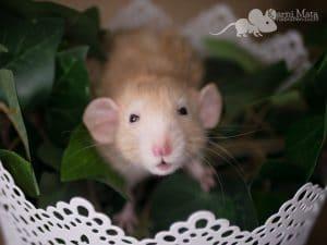 Ratte Boendal, Topaz Velveteen Dumbo Dwarf