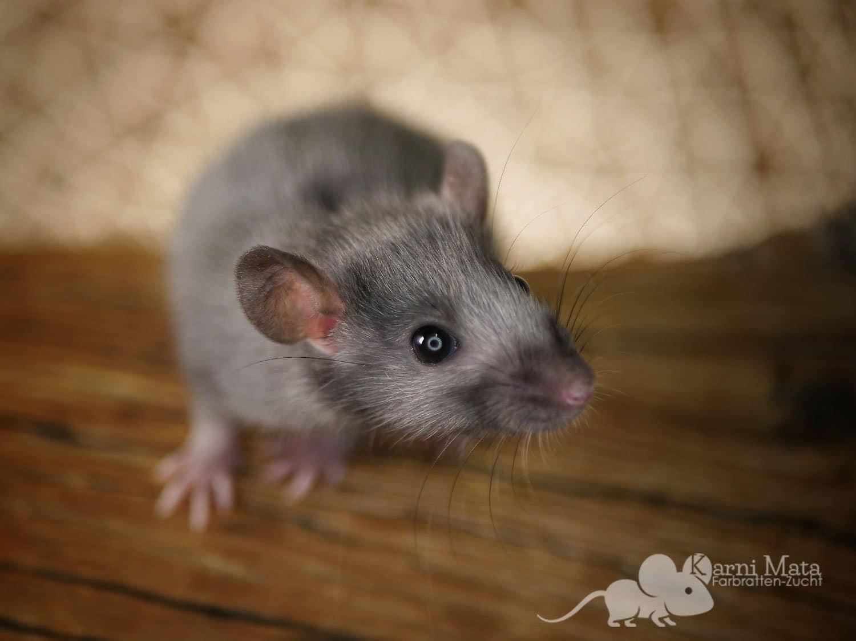 Gautama, Black Silvermane Ratte
