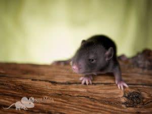 Ratte Juna, Black Self het. Dumbo het. Harley