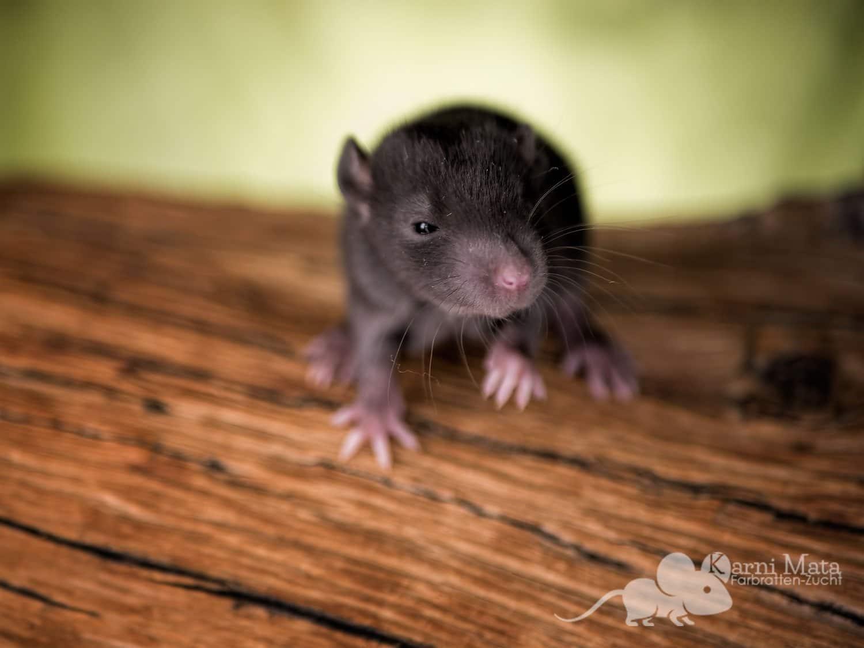 Ratte Justus, Black Self het. Dumbo het. Harley