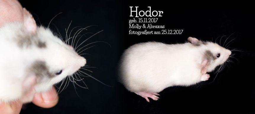 Ratte Hodor - Vibrissen meiner F2