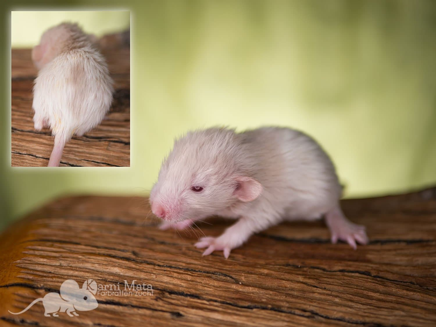 Ratte Immanuel Kant, Silver (?) Fawn oder Champagne Variegated Mismarked Harley Dumbo