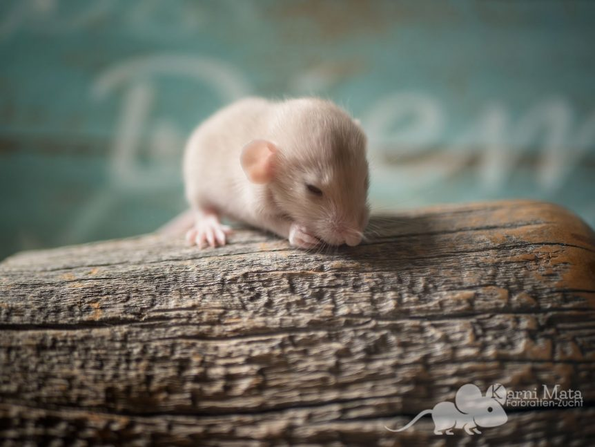 Rattenbaby Kafka, Beige Dumbo Dwarf (Zwergratte)