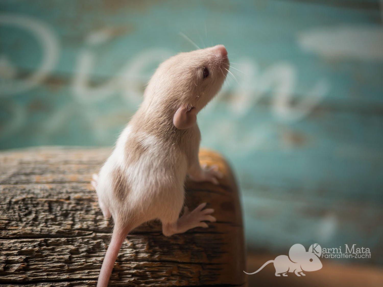 Rattenbaby Kendra, Beige Varihooded Dumbo Dwarf (Zwergratte)