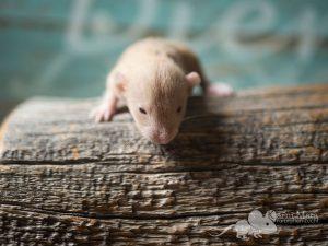 Rattenbaby Klara, Topaz Velveteen Dumbo Dwarf