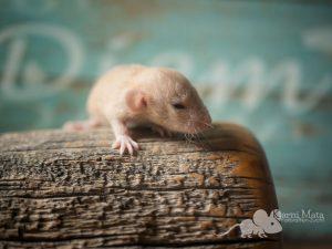 Rattenbaby Konrad, Topaz Velveteen Dumbo Dwarf