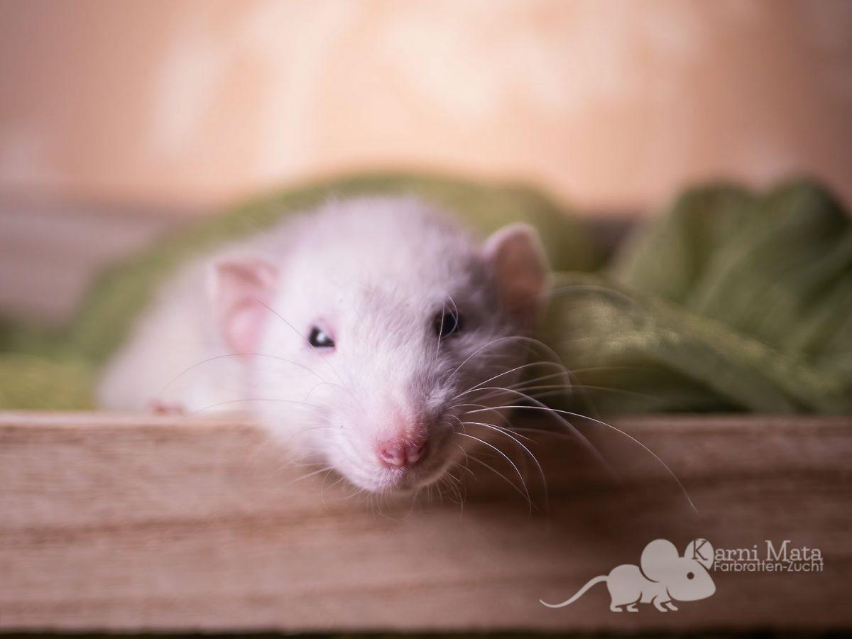 Ratte Flöckchen, Agouti Marble Dumbo
