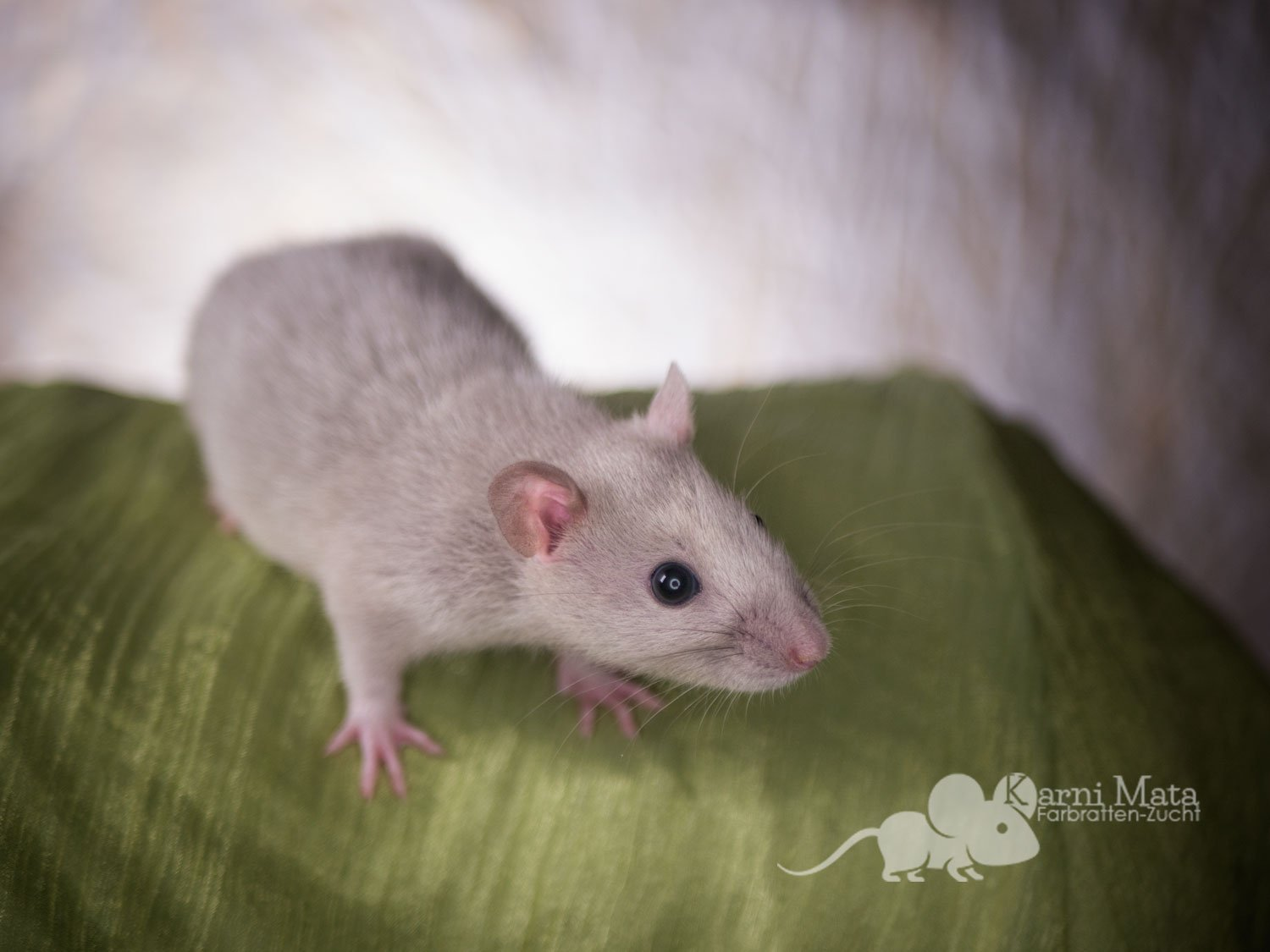 Ratte Lena, Russiasn Blue Point Silvermane Black Eyed