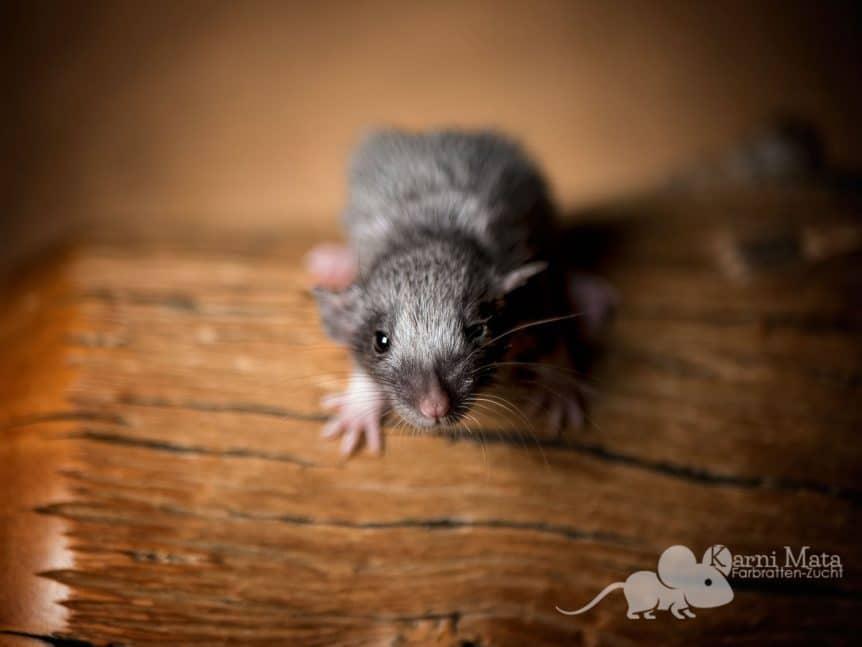 Ratte Lisbeth Salander, Black Berkshire Silvermane Dumbo het. Harley
