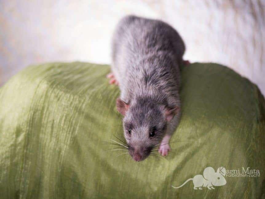 Ratte Joelle, Black Berkshire Silvermane Dumbo het. Harley