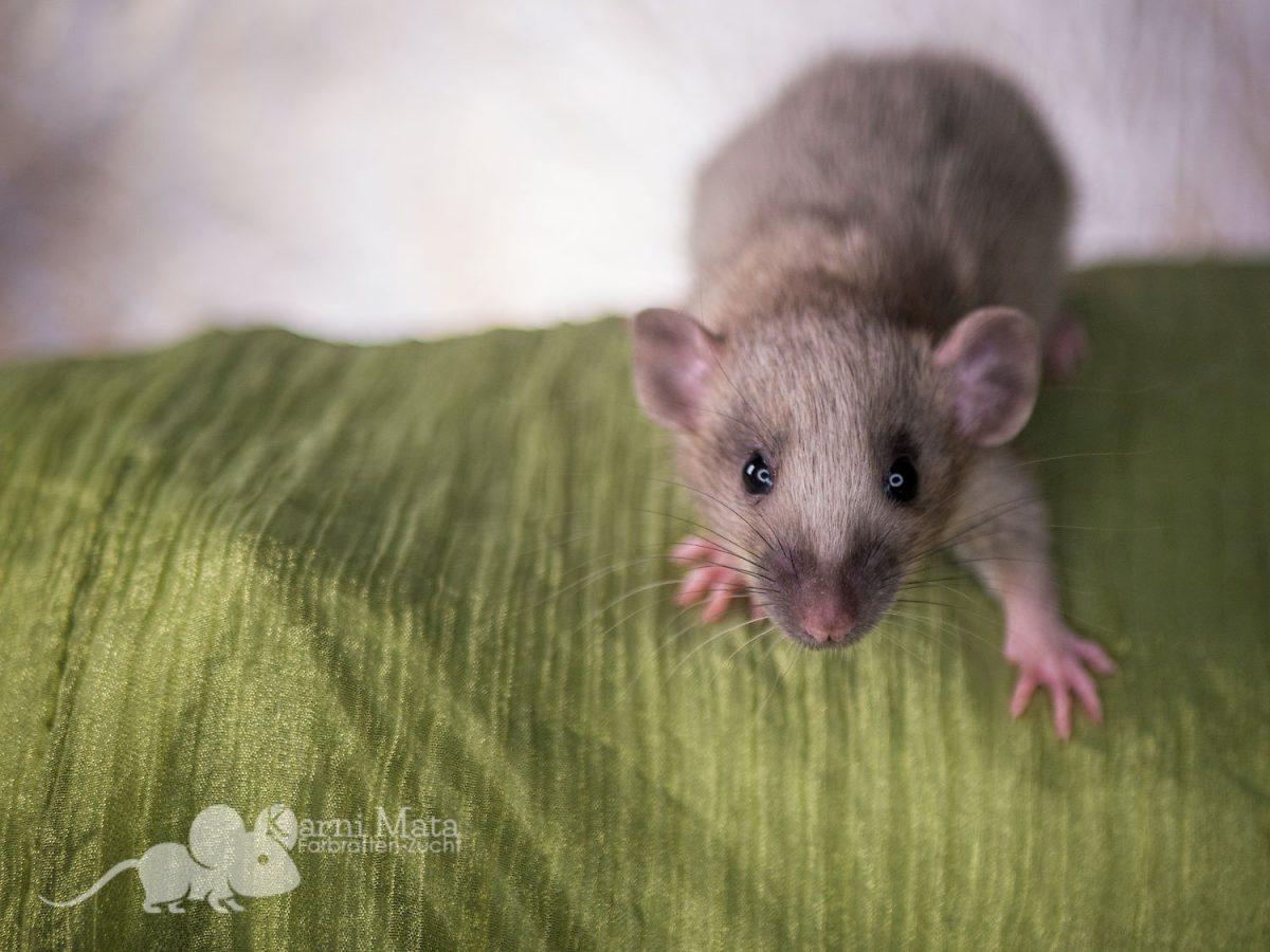 Ratte Merlin, Agouti Silvermane Dumbo het. Harley