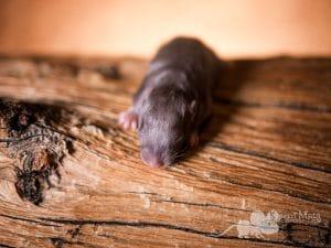 Ratte Black Silvermane im Alter von 10 Tagen