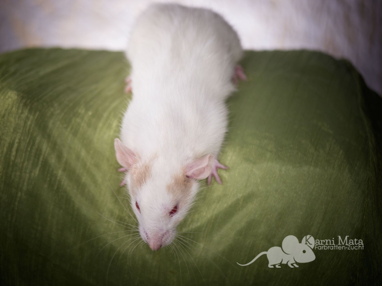 Ratte Capra, Topaz / Fawn Patched Dumbo pos. het. Dwarf