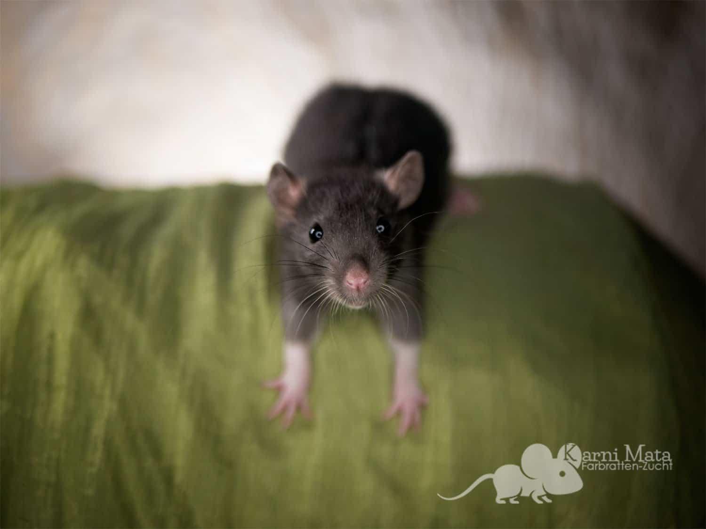 Ratte Lulu, Black Berkshire het. Dumbo het. Harley