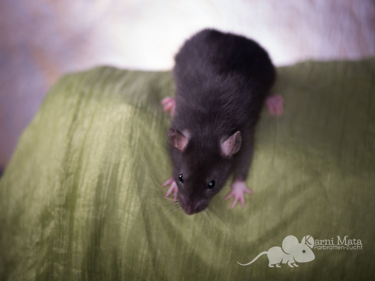 Ratte Mae, Black Irish het. Harley