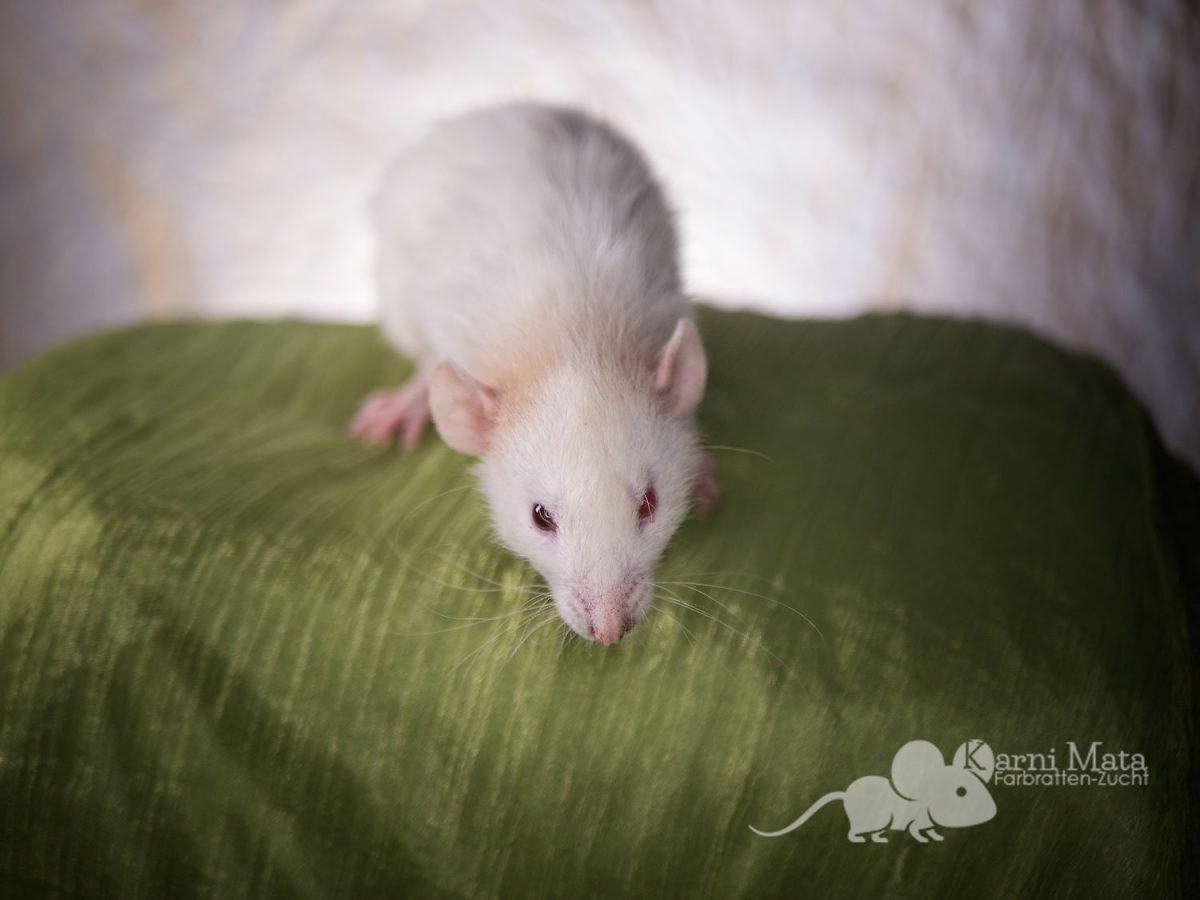 Ratte Odette, Topaz Patched Dumbo Oddeye Velveteen